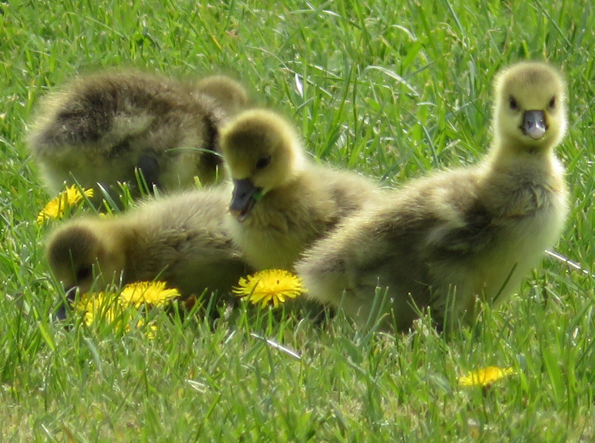 Goslings out on the grass